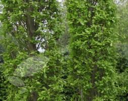 Quercus robur Fastigiata Group (cypress oak)