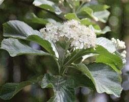 Sorbus aria 'Lutescens' (whitebeam)