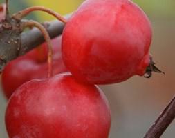 Malus x robusta 'Red Sentinel' (crab apple)