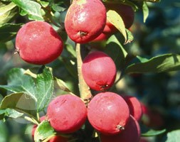 Malus  x robusta 'Dolgo' (crab apple (Syn Pink Glow ))