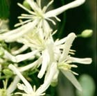 Clematis flammula - clematis (group 3)