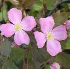 Clematis montana var. rubens 'Tetrarose' - clematis (group 1)