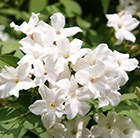Jasminum officinale - common white jasmine