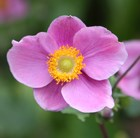 Anemone hupehensis 'Hadspen Abundance' - Japanese anemone