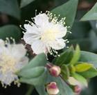 Myrtus communis subsp. 'tarentina' - myrtle