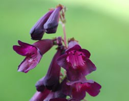 Penstemon 'Raven'