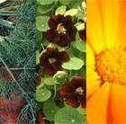 Edible Flower Seed Combination