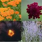 Drought Tolerant Plant Combination