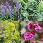 Evergreen Groundcover 'Plant Combination'