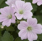 Geranium 'Dreamland ('Bremdream') (PBR)' - geranium
