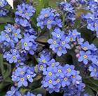 Myosotis 'Sylvia Blue' - 40 plus 20 FREE large plug plants Forget Me Not